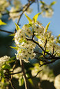 Free White Cherry Blossom Tree Stock Photo - 20249650