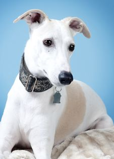 Free Fawn And White Whippet Stock Images - 20240004
