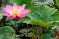 Free Natural Pink Lotus Floral Royalty Free Stock Photos - 20240118
