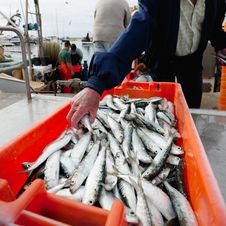Free Fresh Sardines In Orange  Box Royalty Free Stock Photos - 20240548