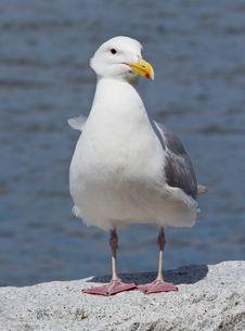 Free Posing Seagull Royalty Free Stock Image - 20240956