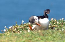 Free The Puffin Dance Stock Photo - 20242270