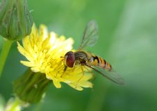 Free Hover Fly (episyrphus Balteatus) Royalty Free Stock Photography - 20242677