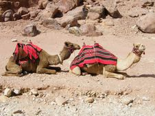 Free Camels In The Petra Desert Stock Photo - 20243140