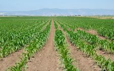 Free Field Of Maize Seedlings Royalty Free Stock Image - 20243186