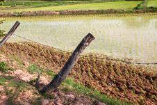 Free Jasmine Rice Field Stock Photo - 20243480
