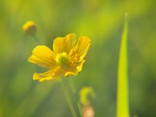 Buttercup Closeup Royalty Free Stock Photography