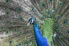 Free Peacock Stock Images - 20243974