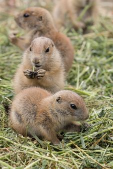 Free Pack Of Prairie Dogs Stock Images - 20244054