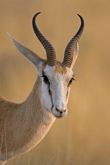 Free Springbok Portrait Royalty Free Stock Photos - 20245108