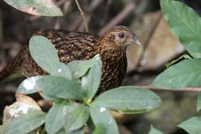 Free Barred Buttonquail Stock Photos - 20246583