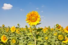 Free Sunflowers Royalty Free Stock Images - 20247239