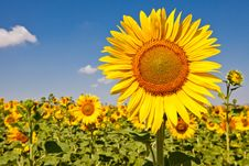 Free Sunflowers Stock Photography - 20247242