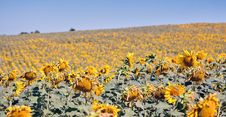 Free Sunflowers Stock Photography - 20247252