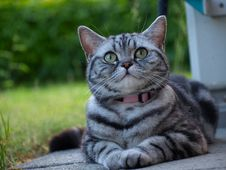 Free Silver Tabby Cat Laying Royalty Free Stock Photo - 20247385