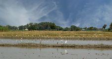 Free Rice Field. Kerala, South India Royalty Free Stock Photos - 20248668