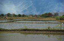 Free Rice Field. Kerala, South India Stock Image - 20248881