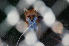 Free Red Fox In Captivity Stock Image - 20249611