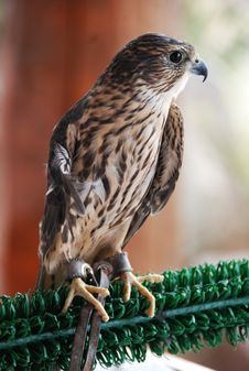 Free Rehabilitated Merlin Stock Photography - 20249622