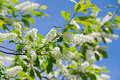 Free Flowering Bird Cherry Tree Royalty Free Stock Photo - 20250475