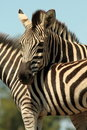 Free Burchells Zebra Portrait Royalty Free Stock Photography - 20251307