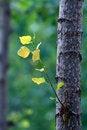Free Poplar Leaf Royalty Free Stock Image - 20255306