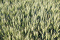 Free Wheat Field From Above Stock Photography - 20255592