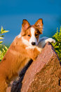 Free Portrait Of Young Border Collie Puppy In Sunset Stock Photography - 20255882