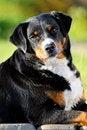 Free Appenzeller Sennenhund Dog Portrait In Summer Stock Images - 20255894