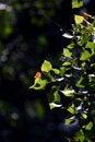 Free Poplar Leaf Royalty Free Stock Photos - 20256718
