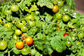 Free Maturing Cherry Tomatoes Royalty Free Stock Photo - 20258885