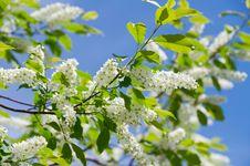 Free Flowering Bird Cherry Tree Royalty Free Stock Photo - 20250475