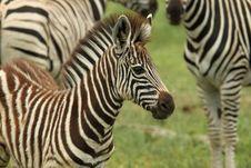 Free Baby Burchells Zebra Royalty Free Stock Image - 20251206