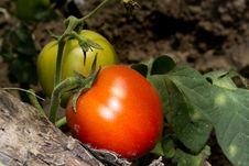 Free Tomatoes Stock Photos - 20251433