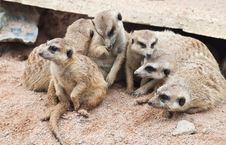 Free Group Of Meerkat Close Up Royalty Free Stock Images - 20251599