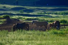 Free Pasture Horses,Dawn Royalty Free Stock Photo - 20251615