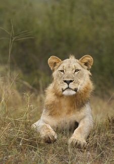 Free Young Male Lion Royalty Free Stock Photo - 20251695
