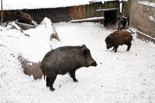 Free Wild Boars Stock Photos - 20251713