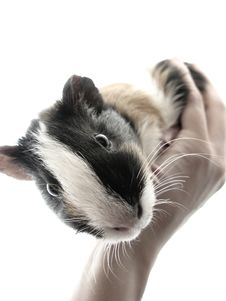 Free Hamster On Hands Stock Images - 20252214