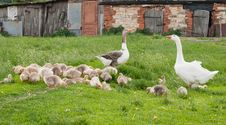 Free Goose Family Royalty Free Stock Photography - 20252287