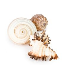 Free Seashell Royalty Free Stock Images - 20252689