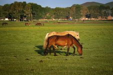 Free Pasture Horses,Dawn Royalty Free Stock Images - 20252799