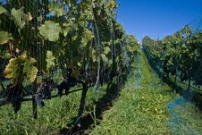 Free Vineyard On A Sunny Day Stock Photography - 20253782