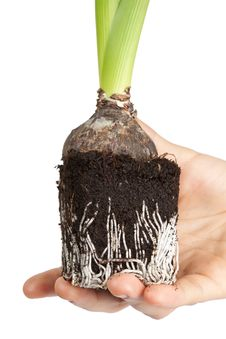 Roots Hyacinth In Hand