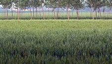 Free Wheat Field Stock Image - 20254841