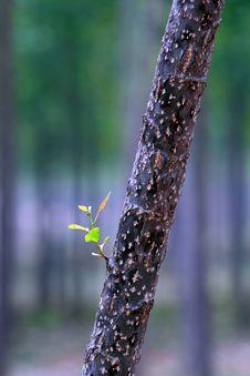 Free Poplar Leaf Stock Image - 20255131