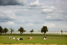 Free Four Cows Resting In Front Of Greenhouses Royalty Free Stock Image - 20255536