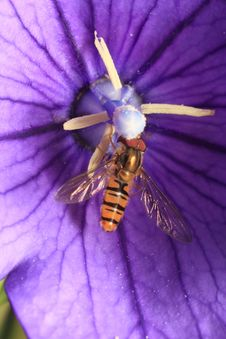 Free Hoverfly On Purple Campanula Stock Images - 20255604