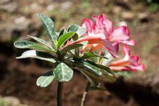 Free Frangipani Flower Royalty Free Stock Photography - 20255717