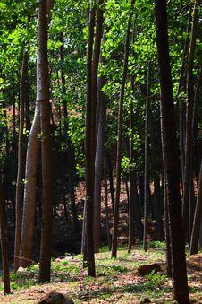 Free Poplar Trees Stock Image - 20256851